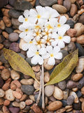 тема plumeria s природы Стоковая Фотография RF