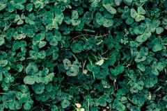 темная ая-зелен картина с клевером Стоковое Изображение