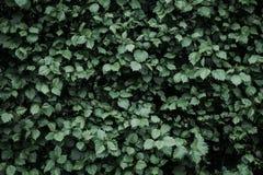 Темная ая-зелен листва, зеленый цвет выходит предпосылка, картина, текстура, низкий ключевой стиль Стоковые Фотографии RF