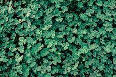 темная ая-зелен предпосылка текстуры клевера Стоковые Изображения
