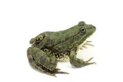 Темная ая-зелен зеленая лягушка стоковая фотография rf