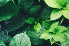 Темная ая-зелен листва здорового завода с дождевыми каплями Стоковое Изображение