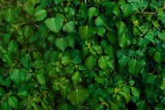 Темная ая-зелен листва здорового завода с serrated сверкать листьев Низкий ключ, горизонтальная предпосылка или знамя Стоковое Изображение