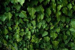 Темная ая-зелен листва здорового завода с serrated сверкать листьев Низкий ключ, горизонтальная предпосылка или знамя Стоковое Фото
