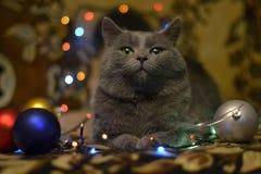 Темная большая кошка подготавливает на Новый Год стоковое изображение rf