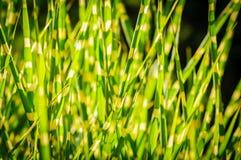 Темная версия Закройте вверх по текстуре предпосылки striped травы желтый цвет зеленого цвета травы стоковые фотографии rf