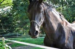 Темная лошадка пася в выгоне, смотря камеру стоковая фотография