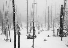 Темная пуща в ландшафте зимы (чернота & белизна) Стоковое Изображение