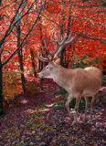 темная пуща оленей одичалая Стоковое фото RF