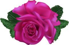 Темная роза пурпура изолированная на белой предпосылке Стоковая Фотография
