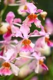 Темная розовая орхидея на ветви Стоковые Фотографии RF