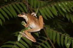 Темная ушастая древесная лягушка Стоковое Изображение