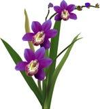 Темная фиолетовая орхидея с зеленым цветом выходит на белизну Стоковое фото RF