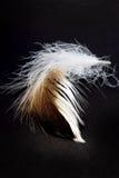 темное перо Стоковое Изображение RF
