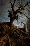 Темное страшное дерево с большими корнями на заходе солнца Стоковая Фотография