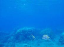 Темносиняя лагуна моря с красочным хирургом рыб коралла Стоковое Изображение