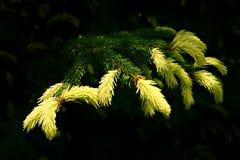 темнота предпосылки кончает желтый цвет игл ели Стоковые Фото