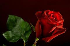 темнота предпосылки - красный цвет поднял Стоковая Фотография