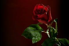 темнота предпосылки - красный цвет поднял Стоковые Фото