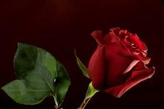 темнота предпосылки - красный цвет поднял Стоковое Изображение