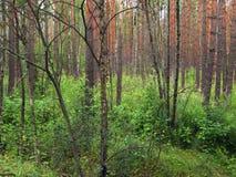 Темнота, сосновый лес стоковое фото