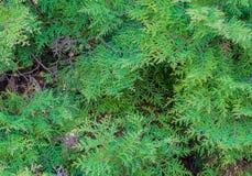 Темно-зеленые ветви дерева туи стоковые изображения rf