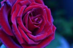 темно - красный цвет поднял стоковые фотографии rf