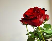 темно - красный цвет поднял Стоковое Фото