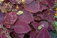 Темные бургундские и красные листья с белыми бутонами стоковое фото rf