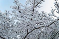 Темные ветви дерева зимы в снеге Стоковые Фото