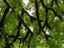 Темные ветви клена как артерии стоковые фотографии rf