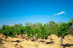 Темные виноградины для вина на тросточках Стоковая Фотография RF