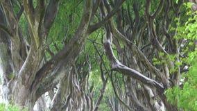 Темные деревья бука изгородей выравнивая дорогу Bregagh во взгляде наклона-вверх Северной Ирландии акции видеоматериалы