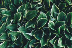 Темные листья хосты стоковое фото rf