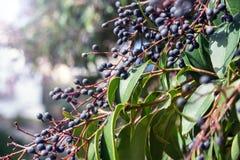 Темные маленькие ягоды среднеземноморского куста в парке на яркий солнечный день liguster стоковое изображение rf