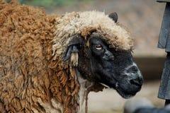 темные овцы Стоковые Фотографии RF