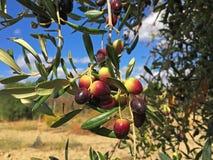 Темные оливки на дереве стоковая фотография rf