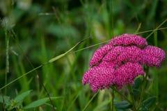 Темные розовые цветки группы Стоковая Фотография RF