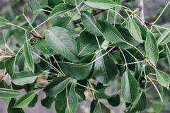 Темные ые-зелен насыщенные листья вишни стоковые фотографии rf