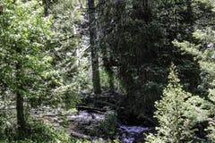 Темные ые-зелен деревья и яркие ые-зелен деревья Стоковая Фотография RF