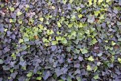 Темные ые-зелен текстура/предпосылка плюща Стоковая Фотография