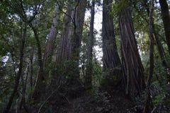 Темные Redwoods Стоковая Фотография