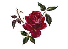 Темный - голова красной розы с illust акварели ветви листьев первоначально Стоковая Фотография RF