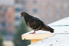 Темный голубь стоя на крае здания Стоковое Изображение RF