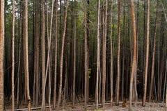 Темный лес высоких деревьев Стоковое Изображение