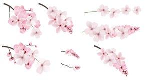 Темный и светлый - розовые цветки Сакуры иллюстрация вектора