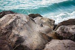 Темный краб на утесах - Атлантический океан, Тенерифе Стоковое Изображение