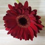Темный - красная детальная маргаритка gerbera Стоковое Изображение