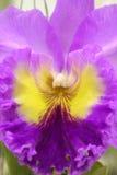 Темный - красная линия фиолетового Cattleya Стоковое Изображение RF