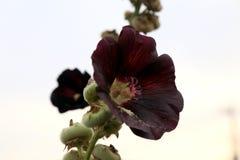Темный - красное Hollycock в цветени Стоковые Фотографии RF